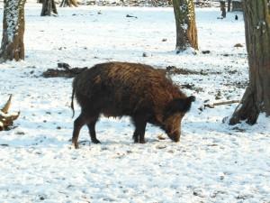 Sanglier en hiver